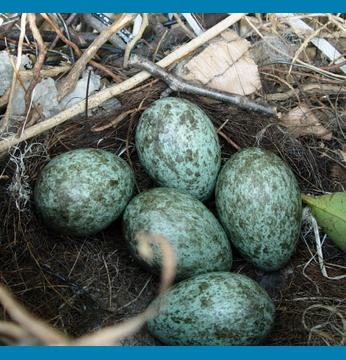カラスの卵