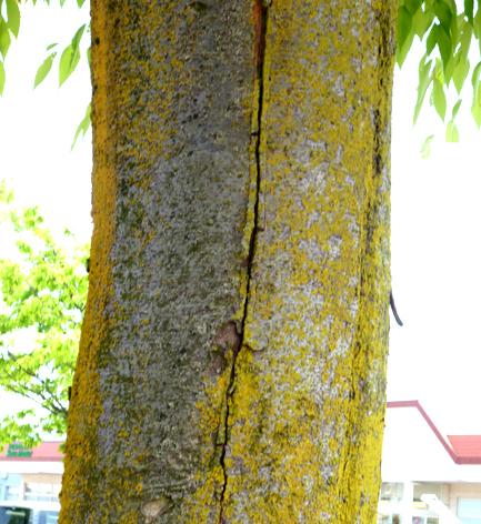 ひびが入る木
