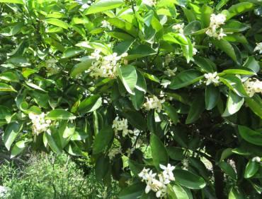2015_05 14_ハッサクの花・1
