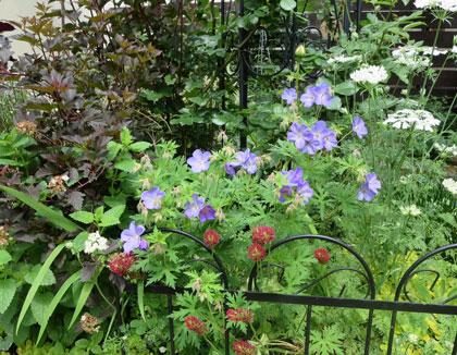 geraniumu2015-5.jpg
