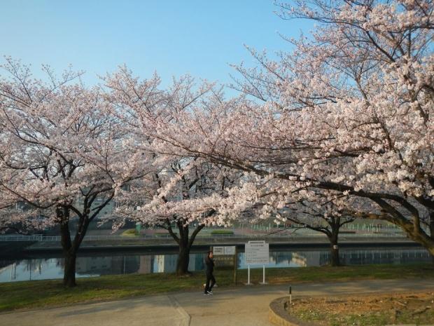 通勤路桜2015 (20)