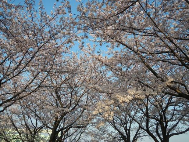 通勤路桜2015 (31)