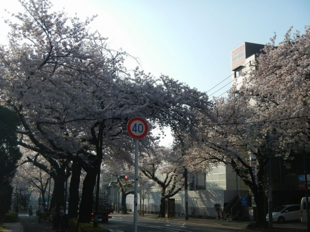 通勤路桜2015 (36)