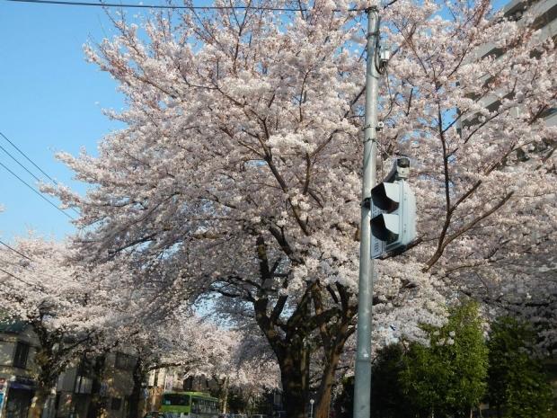 通勤路桜2015 (39)
