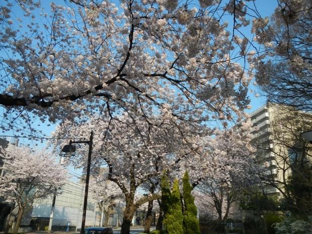 通勤路桜2015 (41)