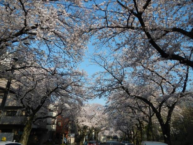 通勤路桜2015 (42)