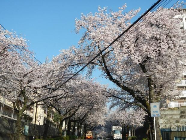 通勤路桜2015 (46)