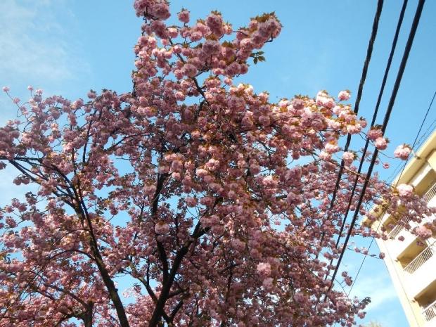 トンネル上八重桜 (1)