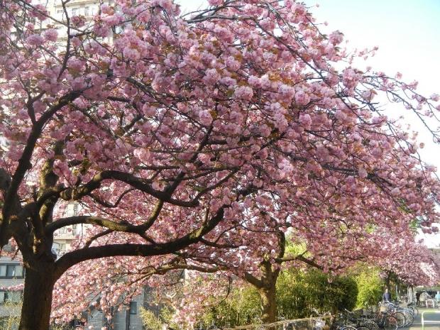トンネル上八重桜 (5)