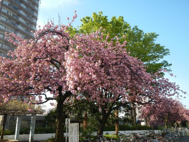 トンネル上八重桜 (6)