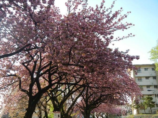 トンネル上八重桜 (10)