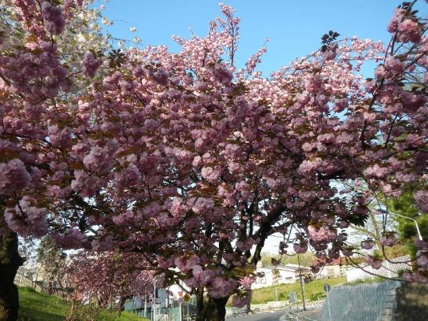 トンネル上八重桜 (16)