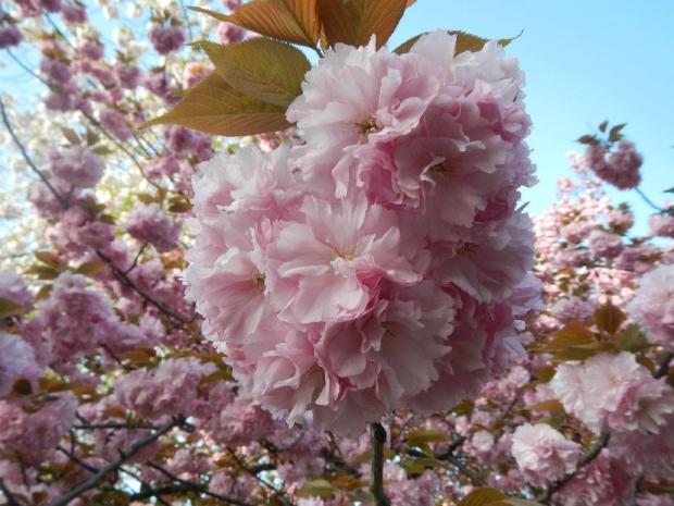 トンネル上八重桜 (19)