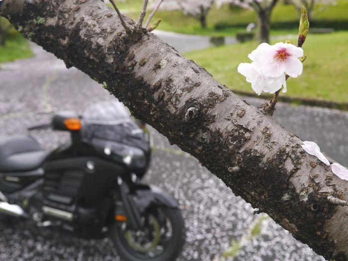 桜めぐりツー (4)