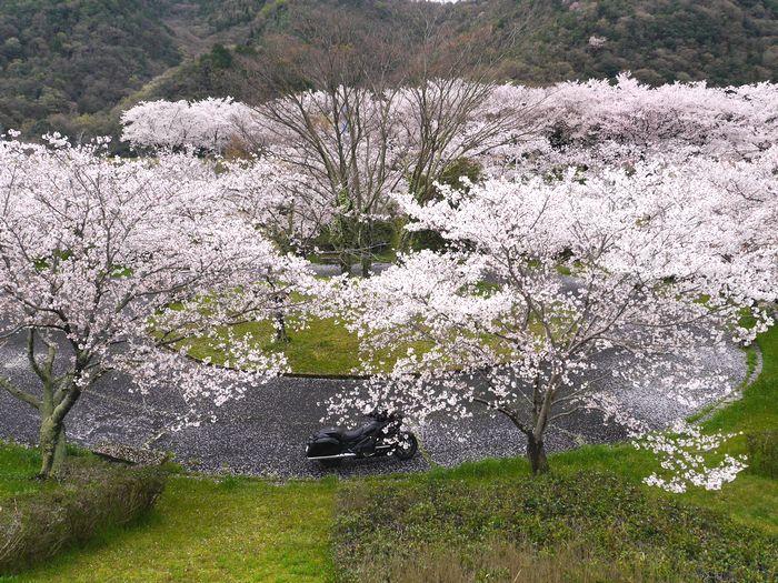 桜めぐりツー (1)
