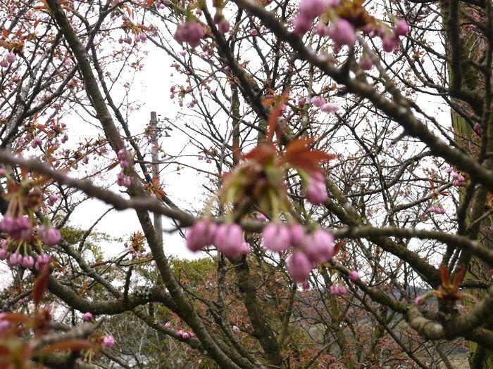 桜めぐりツー (11)