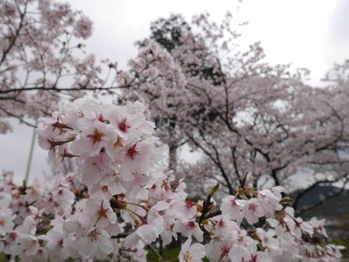 桜めぐりツー (9)