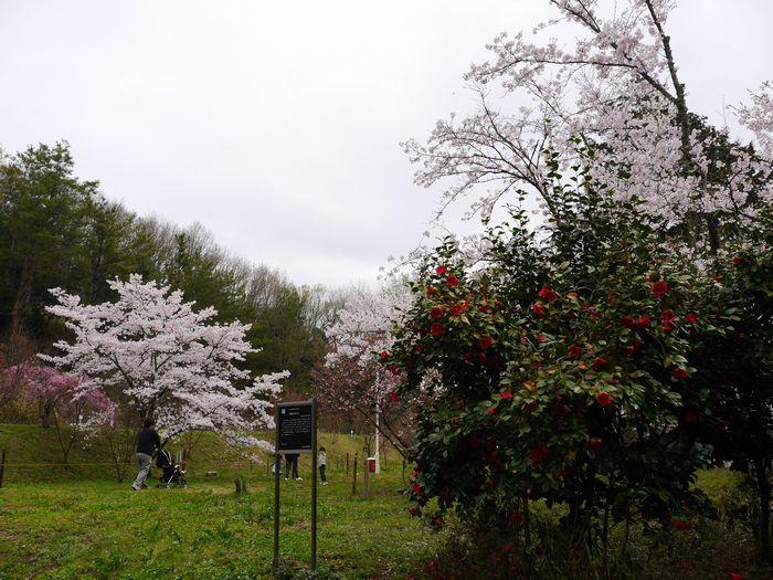 桜めぐりツー (7)
