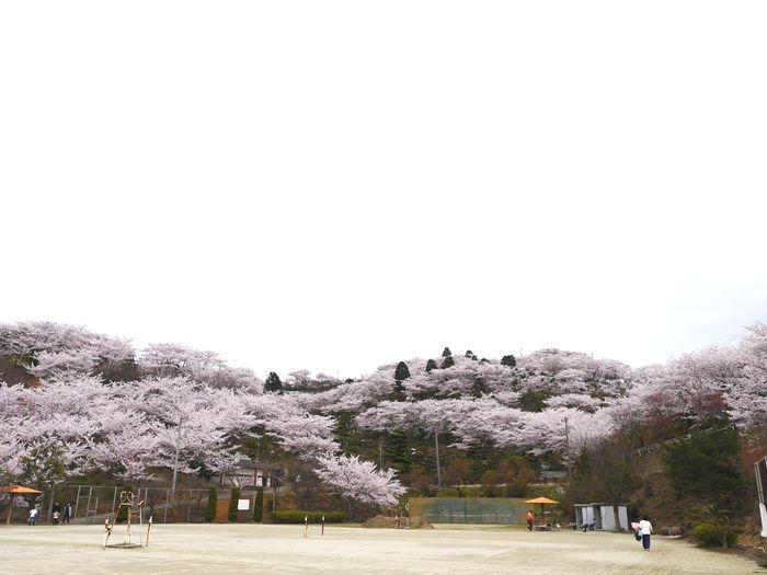桜めぐりツー (27)