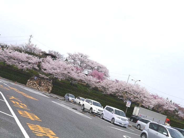 桜めぐりツー (30)