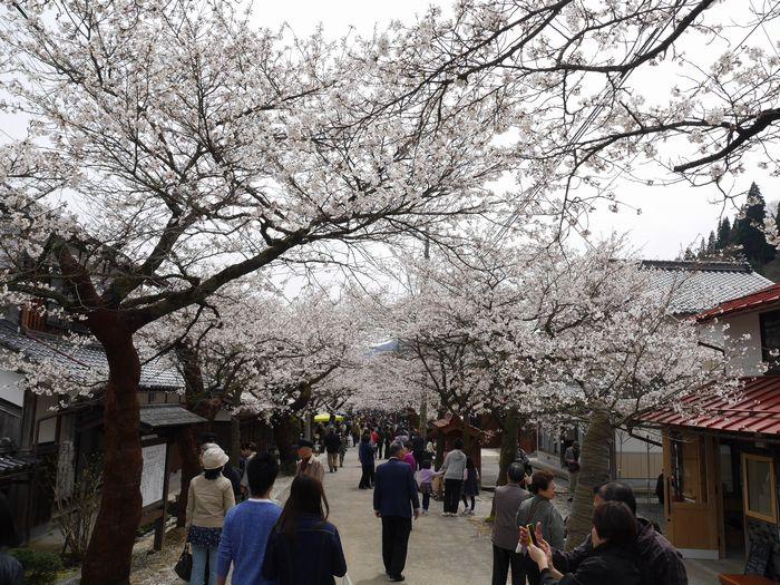 凱旋桜ツー (11)