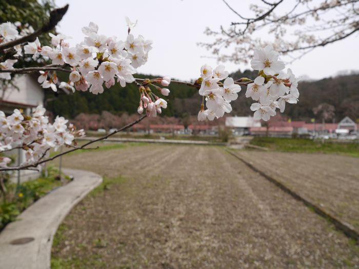 凱旋桜ツー (9)