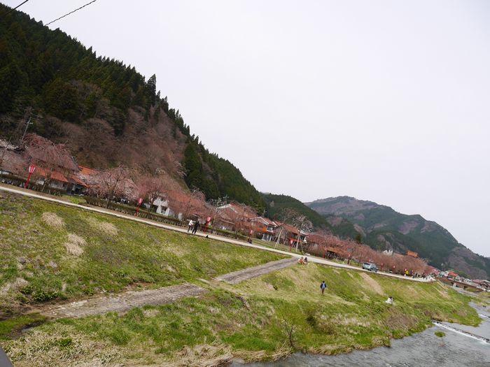 凱旋桜ツー (6)