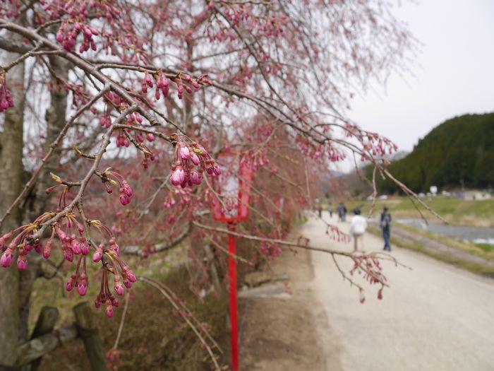 凱旋桜ツー (22)