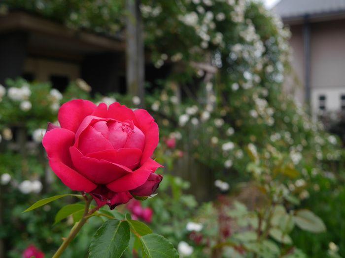 英国庭園、児島 (6)