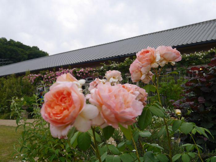 英国庭園、児島 (5)