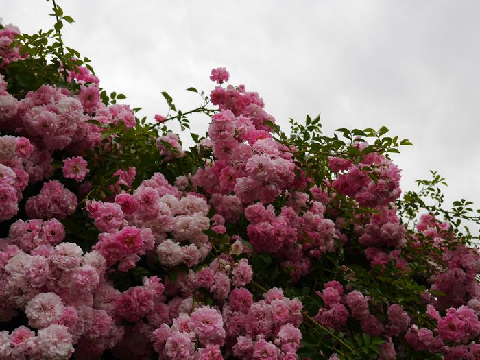 英国庭園、児島 (4)