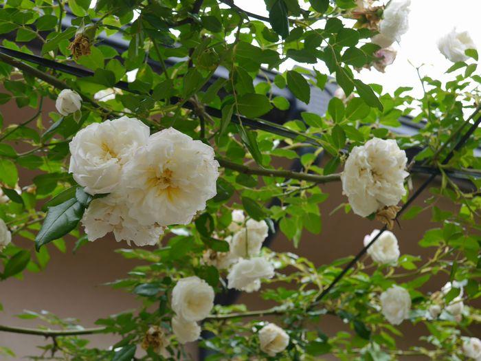 英国庭園、児島 (12)
