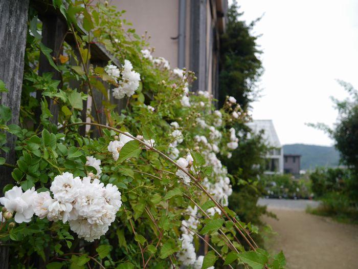 英国庭園、児島 (15)
