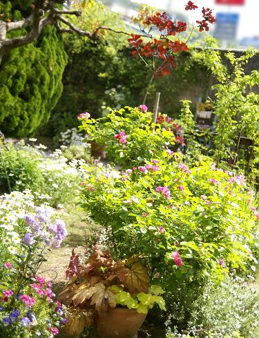 0517-11花とカラーリーフの花壇