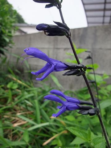 紫サルビア
