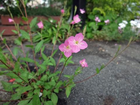 ピンクの野の花