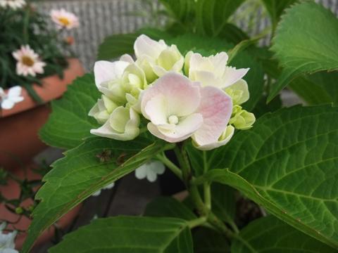 鉢植えアジサイ