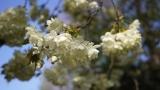 八重桜(御衣黄)