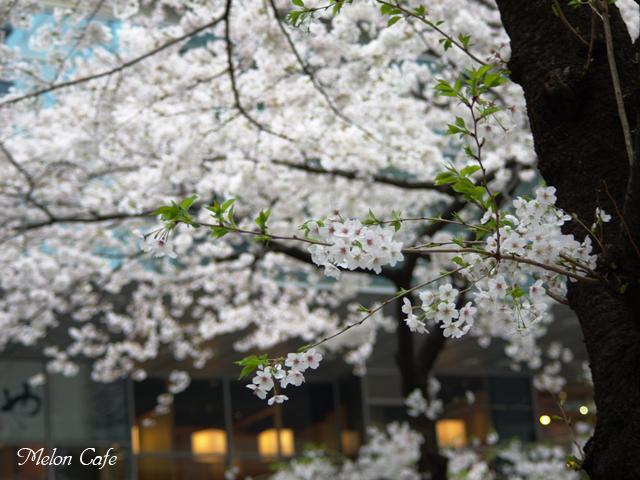 都内の桜01