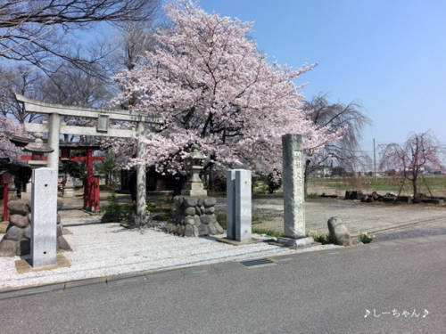 枝垂桜二種・2015_01