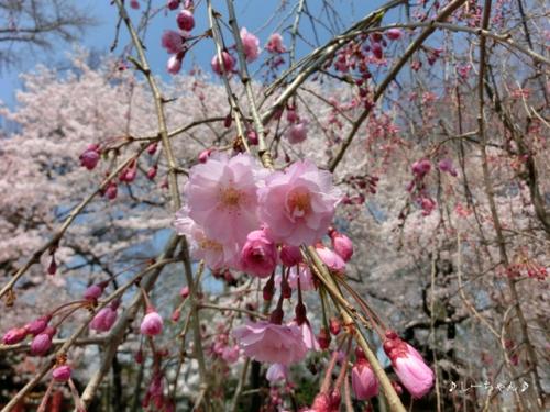 枝垂桜二種・2015_02