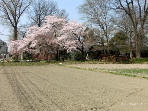 枝垂桜二種・2015_03