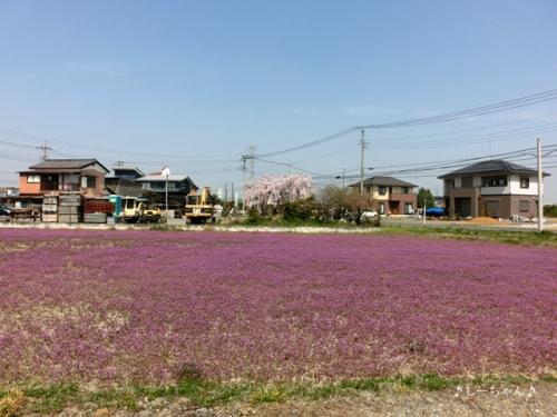 枝垂桜二種・2015_04