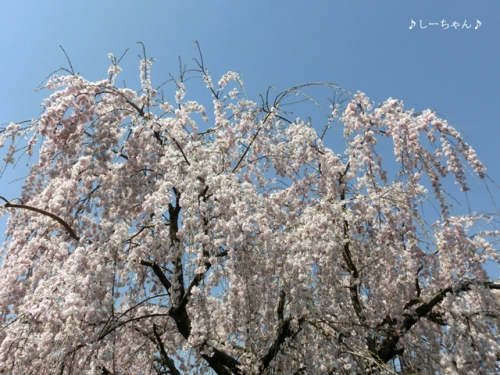 枝垂桜二種・2015_05
