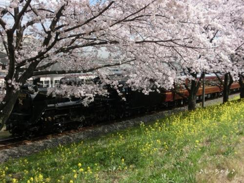 荒川土手の桜2015_01