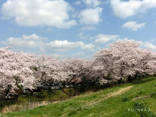 荒川土手の桜2015_02