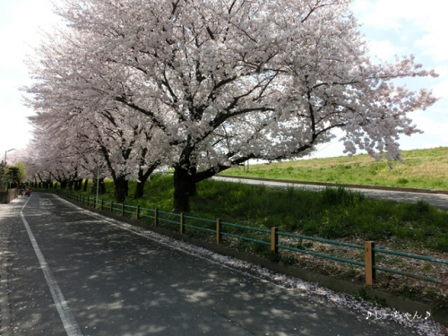 荒川土手の桜2015_05