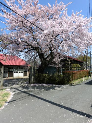 荒川土手の桜2015_07