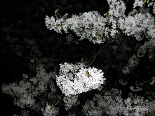 荒川土手の桜(夜)2015_03