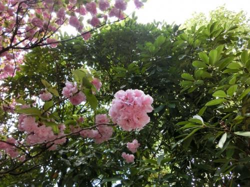 藤の花2015_03